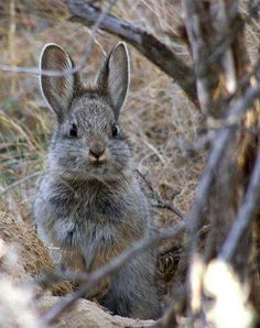 Columbia Basin Pygmy rabbit - Stop! This bunny is unbelievably cute! Funny Bunnies, Baby Bunnies, Cute Bunny, Grey Bunny, Easter Bunny, Cute Creatures, Beautiful Creatures, Animals Beautiful, Animals And Pets