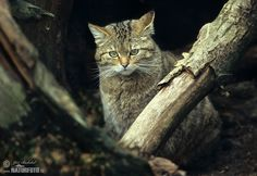 The Wildcat (Felis silvestris)