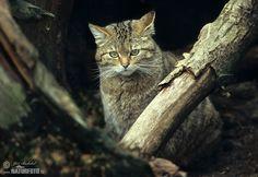 The Wildcat (Felis silvestris)