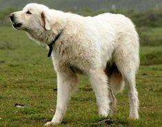 Akbash,  herding dog