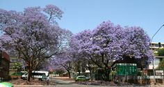 Jacarandabomen in Pretoria. Foto: G.J. Koppenaal - 9/10/2014