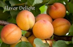 Flavor Delight Aprium Dave Wilson Nursery Aprium® is a plum-apricot hybrid that favors the characteristics of its apricot parentage.  resemble apricot, the fruit having a distinctive flavor and texture all its own and high taste test scores; it's one of the most flavorful early season fruits. less than 300 hours.  In the Southwest Flavor Delight ripens from mid-May through June and is self-fruitful, though it produces better with cross-pollination by an apricot.