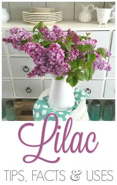Lilac Tips, Facts and Uses. How to make cut flowers last, re blooming varieties, when/how to prune, plus interesting Lilac recipes & uses! Lilac Flowers, Cut Flowers, Edible Flowers, Small Gardens, Outdoor Gardens, Beautiful Gardens, Beautiful Flowers, Succulent Landscaping, Landscaping Ideas