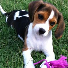 "Our new addition ""Layla"" beagle x cavalier......"