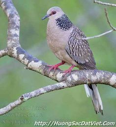 Spotted Dove from Southeast Asia Pretty Birds, Beautiful Birds, Small Birds, Bird Feathers, Pigeon, Amazing Nature, Pictures, Southeast Asia, Animals