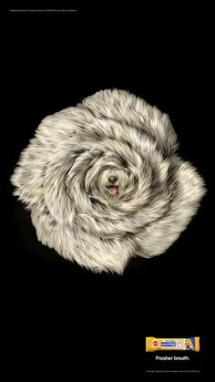 Pedigree DentaFlex: Chow Chow Blossom, Old English Sheeprose, White Samoyed Gerbera 2