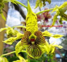 Dendrobium+Orchids | The post Dendrobium New Guinea Orchid Hybrid appeared first on Orchids ...