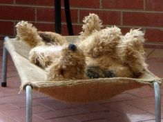 A one dog pile! #dogs #pets #Airedales Facebook.com/sodoggonefunny