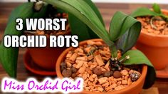 3 worst Orchid diseases - root, stem and crown rot