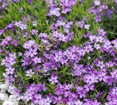 Plants for Soil Retention Purple Beauty Creeping Phlox Spring Plants, Sloped Garden, Ground Cover, Plants, Plants Under Trees, Organic Gardening Tips, Creeping Phlox, Drought Tolerant Perennials, Perennials
