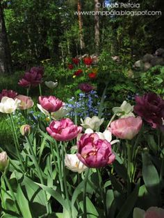 spring flowers and tulips