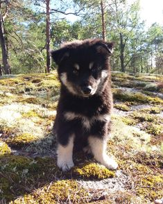 Meet Saaga, the reindeer dog!