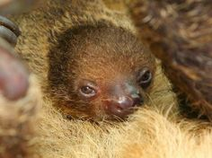 Meet the Little Linne's Two-toed Baby Sloth born at National Aquarium.