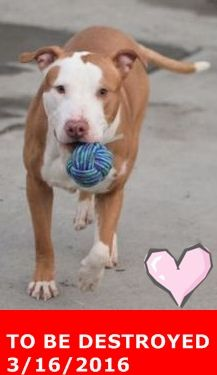 SAFE 3-17-2016 by Amsterdog Animal Rescue --- Brooklyn Center MAX – A1066503  MALE, BROWN / WHITE, AM PIT BULL TER MIX, 1 yr OWNER SUR – EVALUATE, NO HOLD Reason NO TIME Intake condition EXAM REQ Intake Date 03/02/2016 http://nycdogs.urgentpodr.org/max-a1066503/