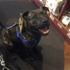 Meet Rock!  He is a wonderful boy with a great temperament who is looking for his forever home in Portland, OR.  Please visit our website to learn more about him and our adoption process: http://www.lovers-not-fighters.org/#!rock/cxdq
