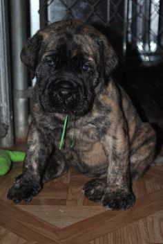 The four breeds most commonly called Mastiffs are the English Mastiff, the Neapolitan Mastiff, the Bull Mastiff and the Tibetan Mastiff. English Mastiff Breeders, British Mastiff, Mastiff Breeds, Mastiff Dogs, Old English Mastiffs, Brindle Mastiff, Tibetan Mastiff, Bullmastiff, Giant Dog Breeds
