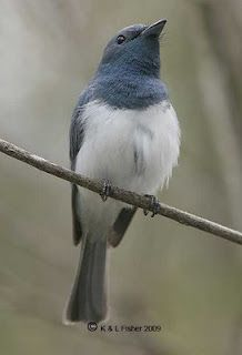 Leaden Flycatcher - Male