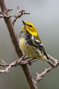 https://flic.kr/p/8ChYM6 | Black-throated Green Warbler | I made it out to Montrose on Saturday morning, despite the threat of rain. There were a good number of birds present, but strangely they were not along the hedge. The black-throated green warblers were in good number and with the ISO cranked up in the 500-1000 range I was able to get a few captures in spite of the low light levels.