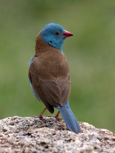 Blue-capped Cordon-bleu (Uraeginthus cyanocephalus) is native to Ethiopia, Kenya, Somalia, Sudan and Tanzania in East Africa.