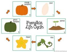 FREEBIE Pumpkin Life Cycle from Ms. Fultz's Corner. We use this as a brainstorming page before writing a paragraph about the pumpkin's life cycle.