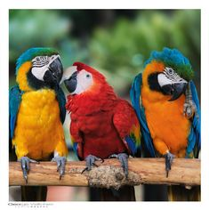 This photo from the TrekNature travel gallery is titled 'Macaw Parrots - Love Triangle Photo'. Kinds Of Birds, Love Birds, Beautiful Birds, Animals And Pets, Baby Animals, Cute Animals, Tropical Birds, Exotic Birds, Funny Parrots