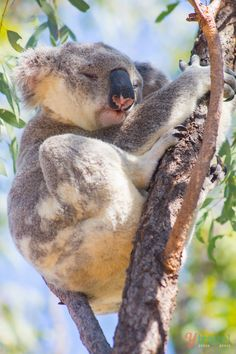 See Koalas in the town of Kennet River - Great Ocean Road, Australia