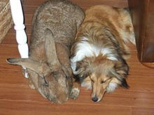 A sandy Giant Flemish Rabbit (male) napping next to a sable and white sheltie.