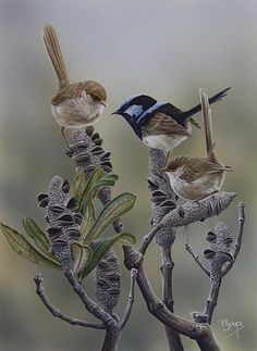 Superb Fairy Wrens Bird Art by artist Peta Boyce Bird Artists, Bird Artwork, Australian Animals, Animal Totems, Bird Drawings, Exotic Birds, Wildlife Art, Pet Birds, Birds 2