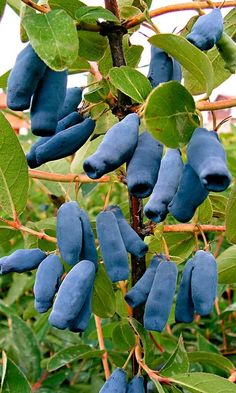 Honeyberry has dark fruits with a fresh, sweet and sour taste. The fruits are very healthy because they are high in vitamin B and C content. Honey Berries are also often used for juice, jam and make compote. Fruit And Veg, Fruits And Veggies, Fresh Fruit, Vegetables, Weird Fruit, Strange Fruit, Fruit Trees, Trees To Plant, Photo Fruit