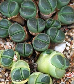 Lithops Olivacea C112 Living Stone 15 Seeds | eBay