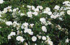 Rosa 'Schneeflocke'. Lage witte heesterroos.