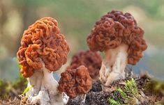 Great Lakes Region, Mushroom Fungi, Cactus, Succulents, Stuffed Mushrooms, Canning, Eastern Europe, Monsters, Real Life