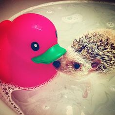 Instagram photo by mandysaurusgrr - Herro? ...Will you be my friend?  #hedgehog #hedgie #bestpets #hedgiesofinstagram #hedgies #hedgehogsofinstagram #cute #love #animalsofinstagram #hedgehogs #animal #Miami #adorable #orpheusthehedgehog #bathtime #allclean #duck #quack #bestfriends #eskimokisses