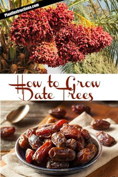 Urban Garden How to Grow Date Trees - Dates are one of the most delicious fruits in the world (personal opinion here!), and if you live in a warm enough climate or you have a greenhouse, you should absolutely learn how to grow date trees! Fruit Plants, Fruit Garden, Edible Garden, Tropical Garden, Herbs Garden, Garden Paths, Garden Landscaping, Diy Gardening, Gardening For Beginners