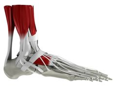 Google Image Result for http://healthpages.org/wp-content/uploads/2010/10/foot-muscles-bones.jpg