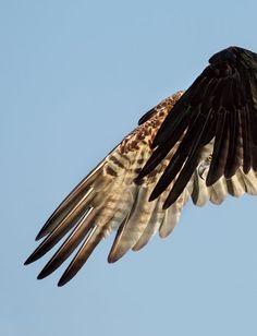 Seahawk by Dick Dickinson