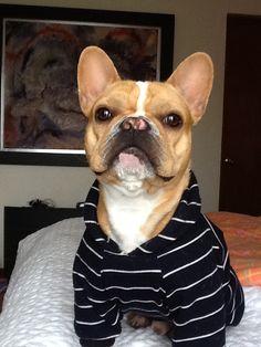 Bulldog francés, French Bulldog, so handsome.