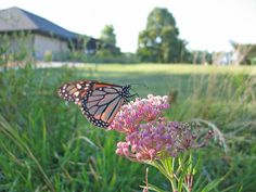 Monarch butterfly on swamp milkweed (Asclepias incarnata) at Dyck Arboretum of the Plains, Hesston, KS Photo by B Guhr