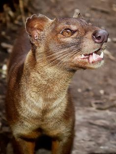 """Wild Fossa Madagascar- """"oooh, the fossa are coming""""- Madagascar movie. now I know what they really look like. unlike any other animal. What amazing creatures God has made."""
