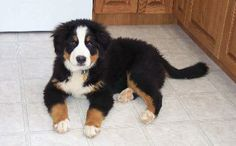 Max - Bernese Mountain Dog Pup