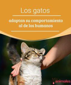 Los gatos adaptan su comportamiento al de los humanos Los gatos son animales felinos, esto quiere decir que nuestro gato no es un animal doméstico. Descubre cómo adaptan su comportamiento al de los humanos. #gatos #comportamiento #humanos #curiosidades