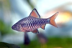 Checkered barb (Oliotius oligolepis); found in creeks, rivers and lakes in Sumatra, Indonesia.