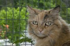 Marmalade is an adoptable Domestic Long Hair - Orange Cat in Palmyra, VA. Hi, I am Lady Marmalade, she of the flowing locks and the glorious colors of a cloudless winters days sunset. If that sounds i...