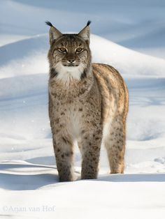 Lynx in the Bayrische Wald -- Beautiful!