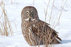 Great Grey Owl | Flickr: Intercambio de fotos