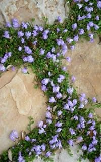Mazus reptans - beautiful groundcover with small blue flowers