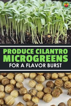 Do cilantro microgreens taste like cilantro? Are they easy to grow? We answer these questions and more in our complete growing guide!