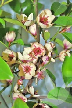 Michelia yunnanensis x figo 'White Caviar' / Library − Speciality Trees