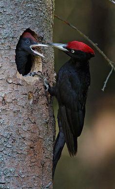 # bird # PILEATED WOOD PECKER
