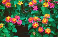 """ground cover - Lantana is a low maintenance plant that is a butterfly magnet. Blooms all year, various colors available. Grows to 24"""". Full sun. Drought tolerant."""